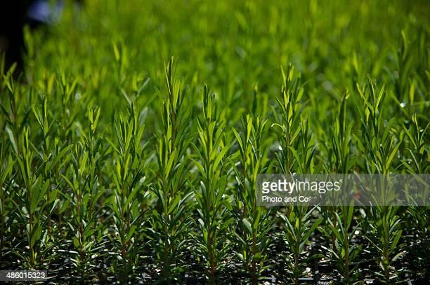 tea tree nursery baby plants