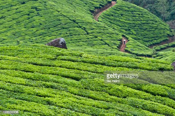A tea worker carries supplies through the plantations of Munnar in the hills of Kerala
