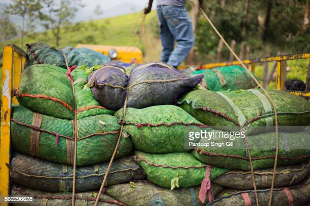 A tea worker secures bags of tea on the back of a truck on the tea plantations of Munnar, Kerala.