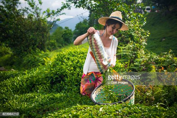 Tea Worker Woman in The Field.