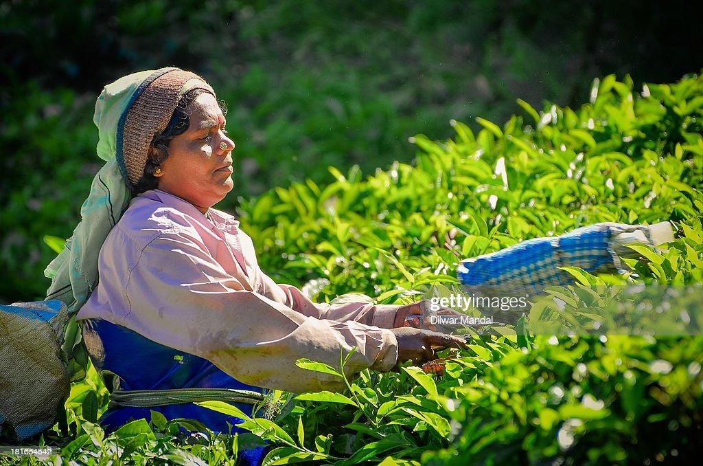 Tea Worker : Nieuwsfoto's