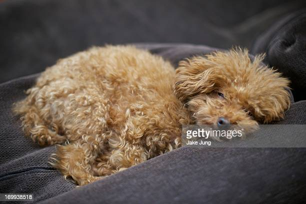 Teacup poodle napping on a brown sofa