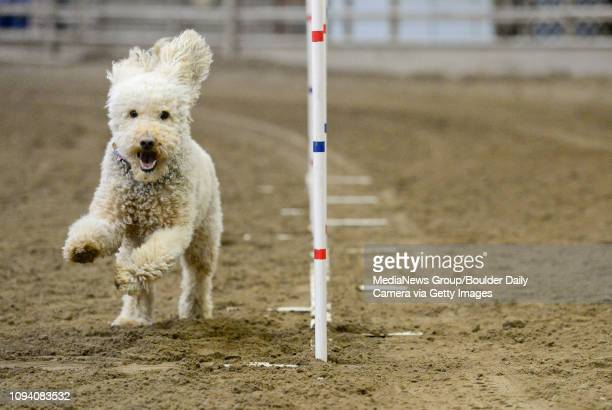 Teagan a 5yearold Labradoodle weaves in and out of a set of poles set up by the Front Range Agility Club at the Indoor Arena at the Boulder County...