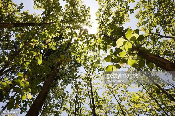 チーク材の森の天蓋付きです。 - チーク ストックフォトと画像