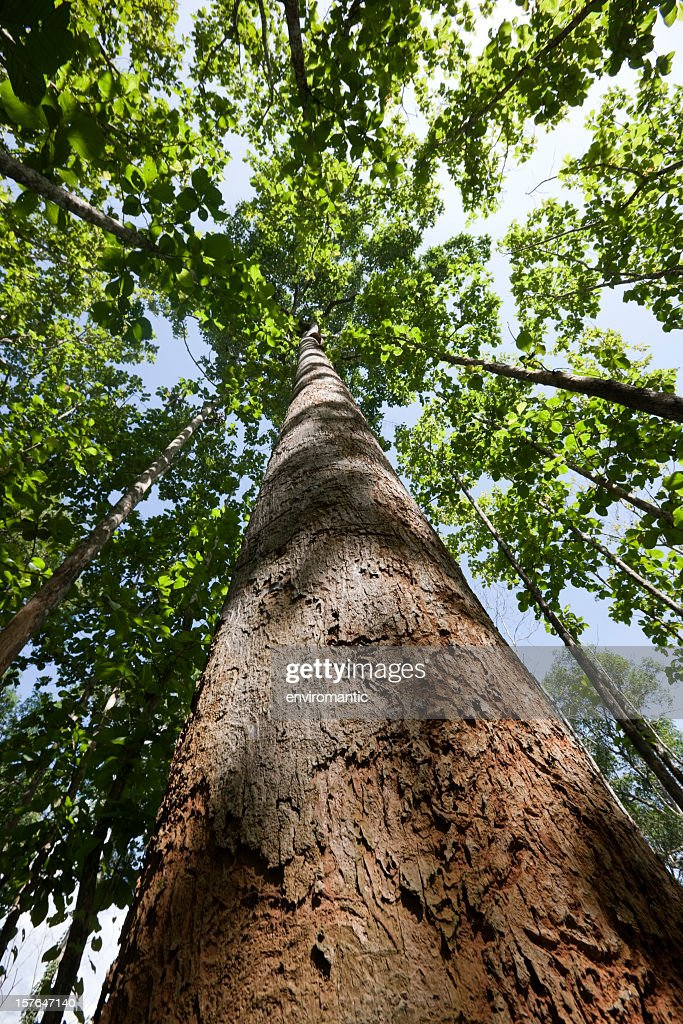 World S Best Teak Tree Stock Pictures Photos And Images
