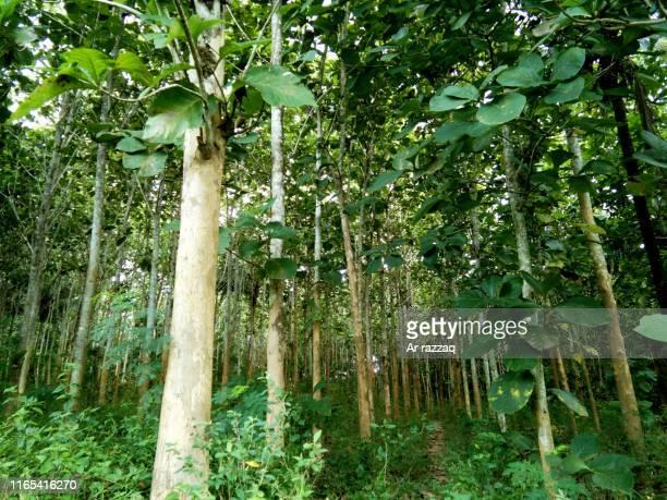 teak tree - チーク ストックフォトと画像