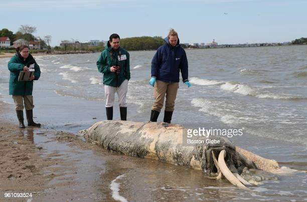 A team from the New England Aquarium looks over the site where a dead minke whale washed up on the shore of Wollaston Beach in Quincy MA on May 18...