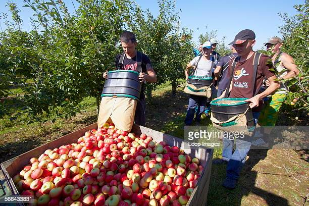 A team of apple pickers harvesting in a modern orchard