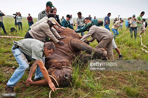 A team of assistants move Spencer the Rhino after administering an antiparasitic treatment to Spencer the Rhino's horn at the Rhino and Lion Park on...