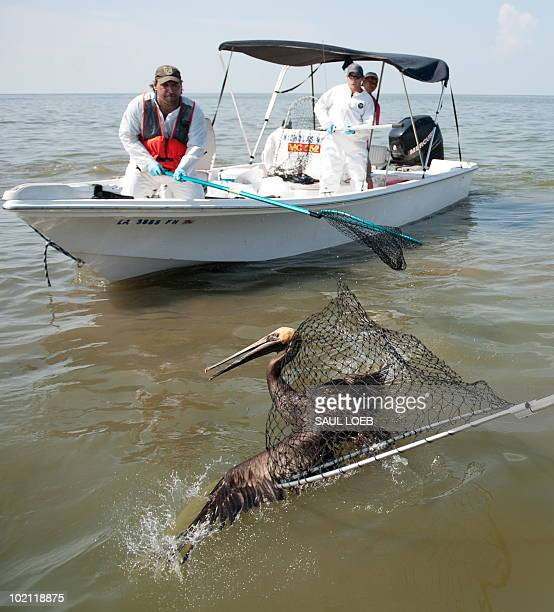 A team of biologists from the US Fish and Wildlife Service catch a brown pelican covered with oil from the BP Deepwater Horizon oil spill at Sandy...