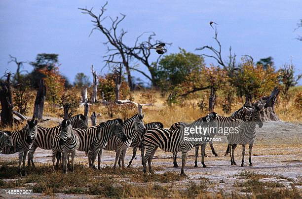 Team of Burchell's Zebra ( Equus burchellii ) in the Moremi Wildlife Reserve