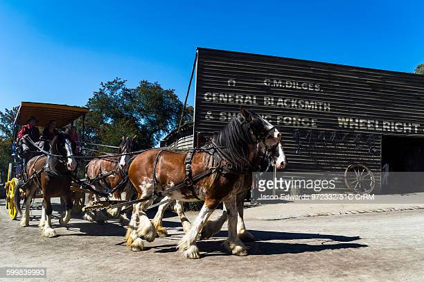A team of Clydesdale horses pull a stagecoach in a gold mining town museum Sovereign Hill Ballarat Victoria Australia