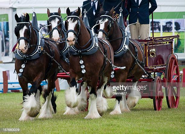 Team of Clydesdale horses pulling a cart