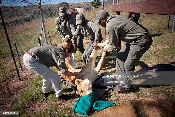 A team of game rangers carry 19yearold Carmen after being tranquilised at Lionsrock Sanctuary on April 4 2012 in Bethlehem South Africa Ten new...