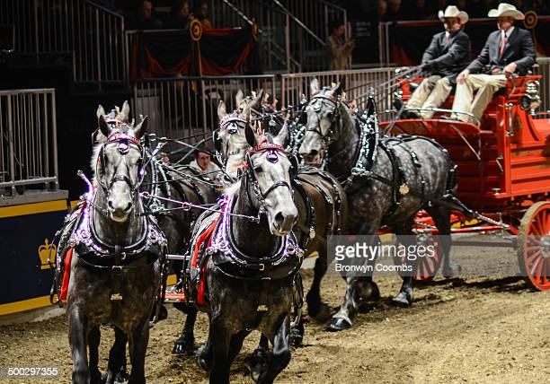 CONTENT] A team of grey draft horses compete in a harnessing show