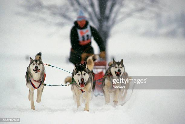 Team of Huskies Canis familiaris pulling sled during competition France