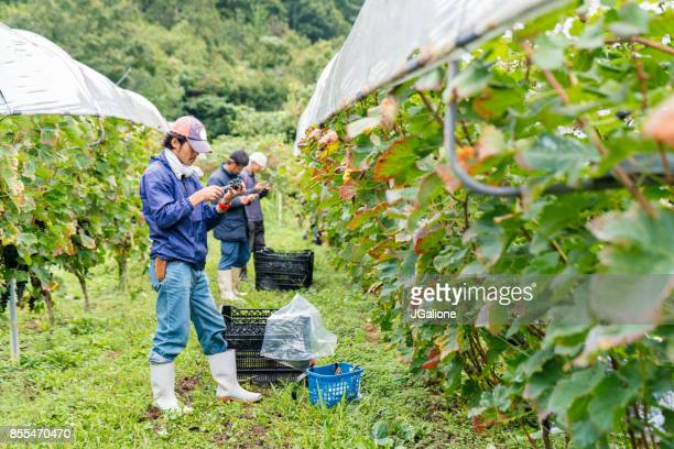team of japanese farmers working in a vineyard - farm worker stock pictures, royalty-free photos & images