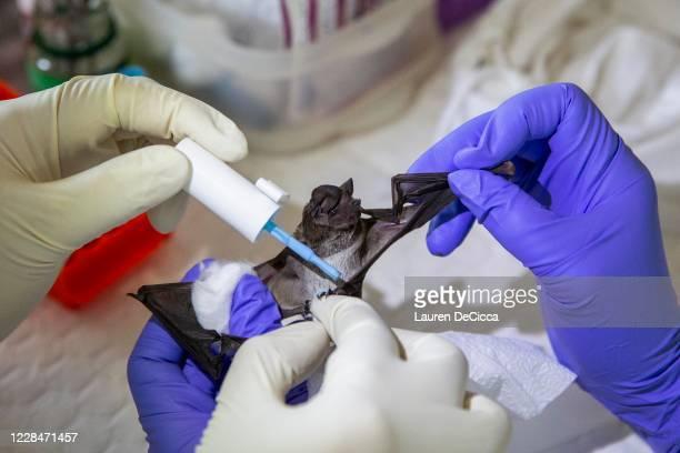 Team of scientists and science students from Chulalongkorn University paint the toenails of a wrinkle-lipped free-tailed bat after sampling as a way...