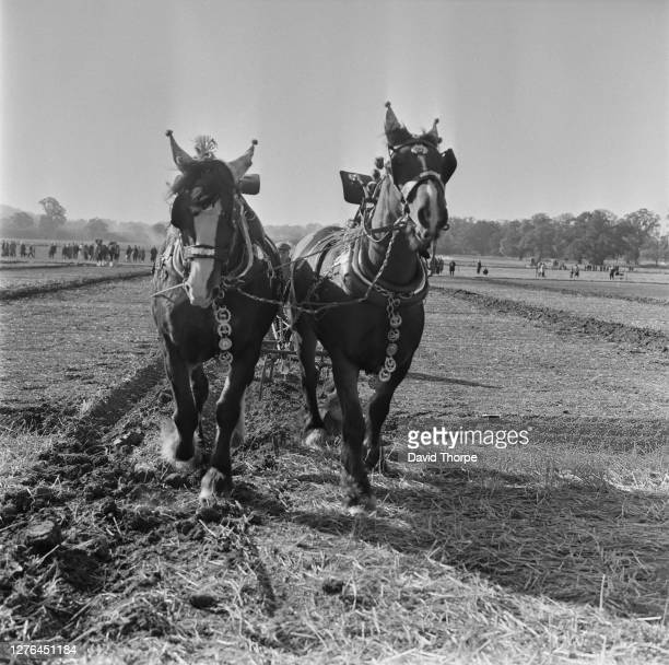 Team of shire horses ploughing a field in the Southern Counties of England, 1st October 1972.