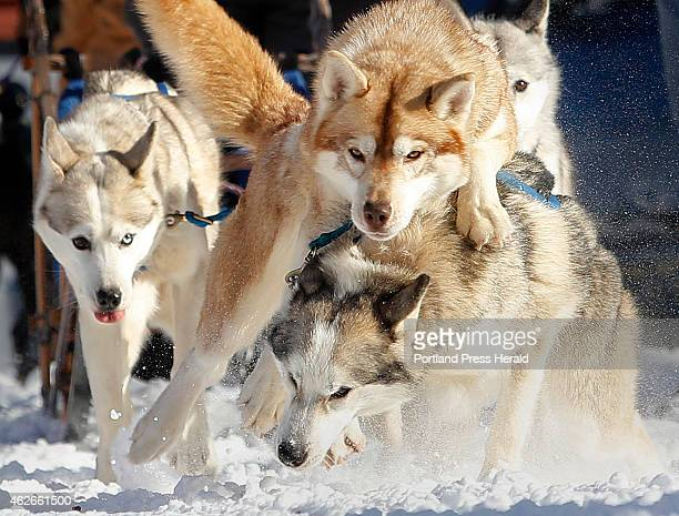 A team of Siberian Huskies belonging to Jan Haring of Jackson NJ show their exitement as they get organized before the start of the four dog speed...