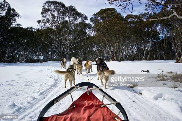 A team of Siberian Husky sled dogs pull a sled through alpine snow.