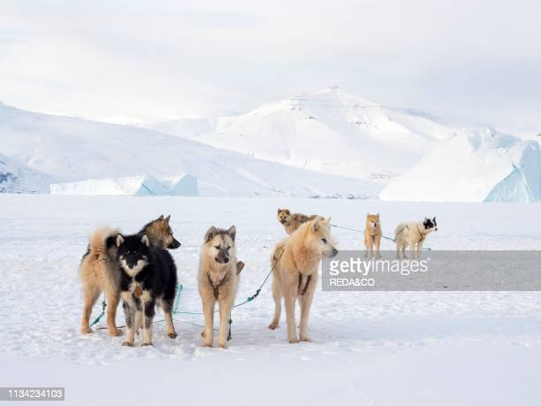 Team of sled dog during winter in Uummannaq in the north west of Greenland Dog teams are still draft animals for the fishermen of the villages and...