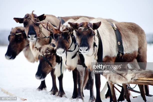 team of tundra reindeer with sleigh - cliqueimages - fotografias e filmes do acervo