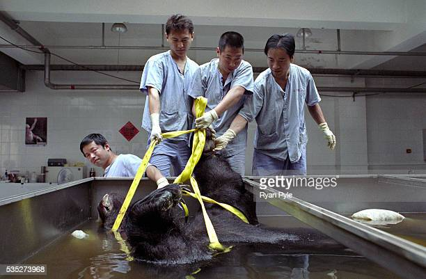 A team of workers has the task of preparing a bear for Plastination The Body Worlds Plastination Center in Dalian China This is the body factory...