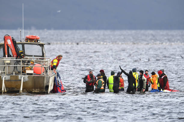 AUS: Rescuers Work To Save Hundreds Of Whales Stranded In Tasmania's Macquarie Harbour