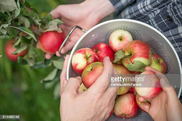 teamwork - 3 people picking apples - appelboom stockfoto's en -beelden