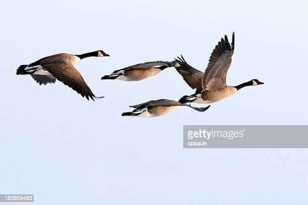 canada goose stock code
