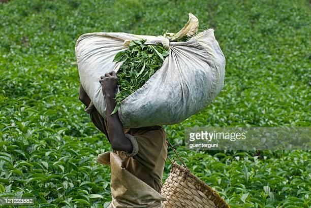 Teapicker carrying a heavy load of tea