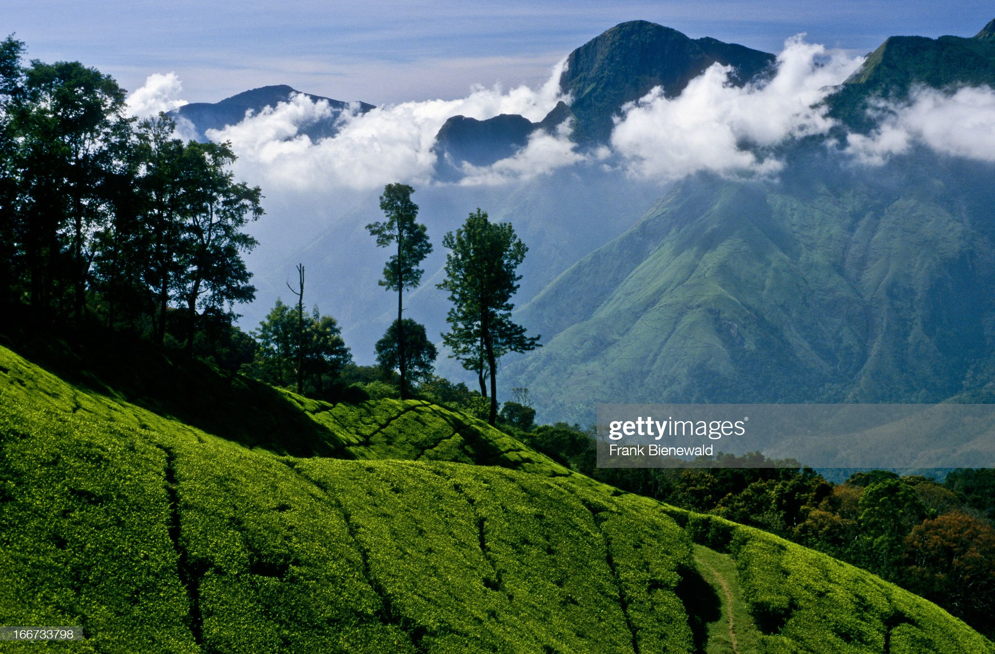 Tea-plantations stretching all over the Nilgiri Hills... : News Photo