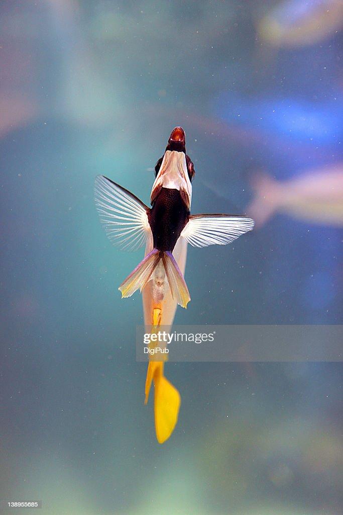 Teardrop butterflyfish : Stock Photo
