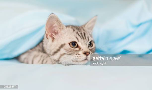 tebby kitten hiding under quilt cover - cat hiding under bed stock pictures, royalty-free photos & images