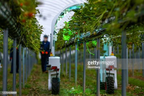 A technician operates a Thorvald autonomous modular robot developed by Saga Robotics as it completes an UltraViolet light treatment on a crop of...