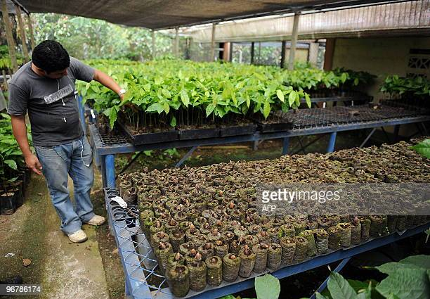 A technician selects cacao plants to graft at the greenhouse of the Tropical Agriculture Research and Education Center in Turrialba about 40 km...