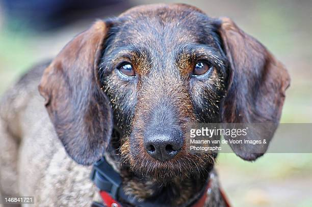 teckel dog in  portrait - teckel stock photos and pictures