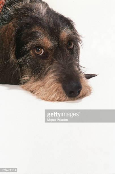 Teckel dog