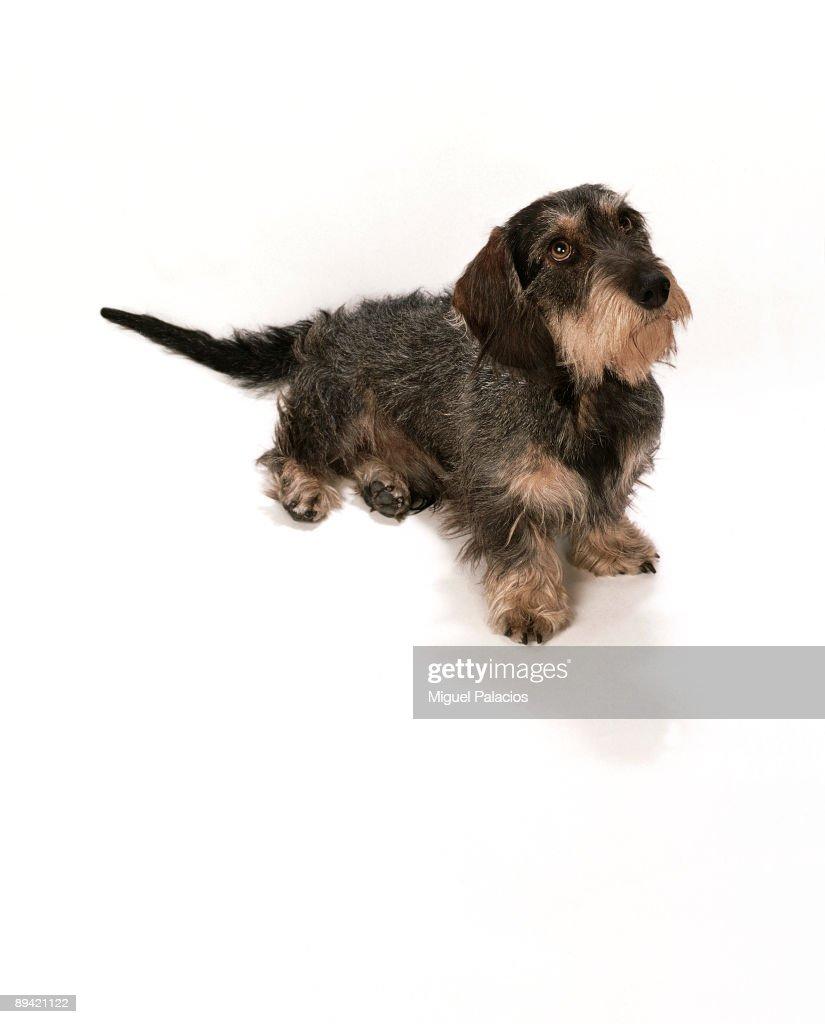 Teckel dog : News Photo