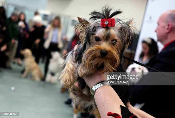 Teddy a Yorkshire Terrier is pictured during a press conference by the American Kennel Club in New York on March 21 to announce America's top ten...