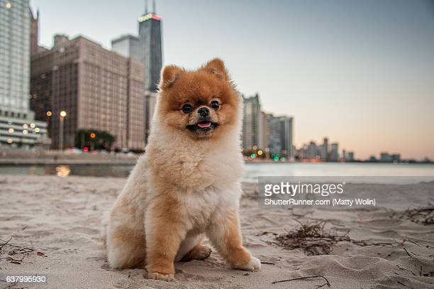 teddy at the beach - pomeranian stock photos and pictures