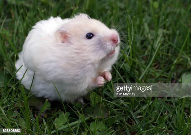 Teddy Bear Hamster looking cute in the grass