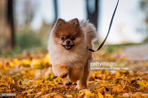 teddy enjoying a fall day - pomeranian stock photos and pictures