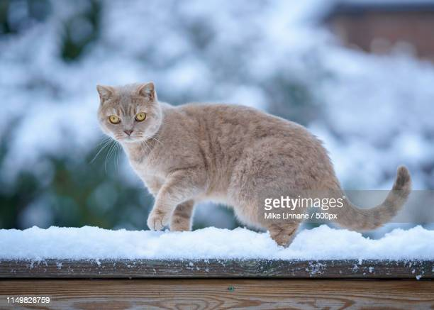 teddy in the snow - british shorthair cat stock pictures, royalty-free photos & images