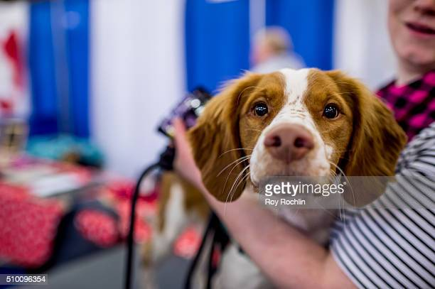 Teddy the Brittany dog attends 7th Annual AKC Meet The Breeds at Pier 92 on February 13 2016 in New York City