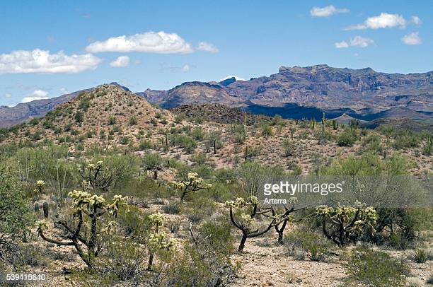 Teddybear cholla in front of the Ajo Mountain Range Organ Pipe National Monument Sonoran desert Arizona US