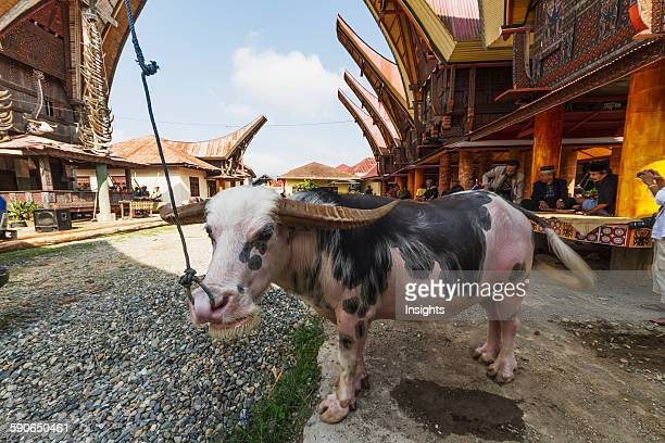 Tedong Bonga water buffalo at a rante the ceremonial site for a Torajan funeral ceremony in Rantepao Toraja Land South Sulawesi Indonesia