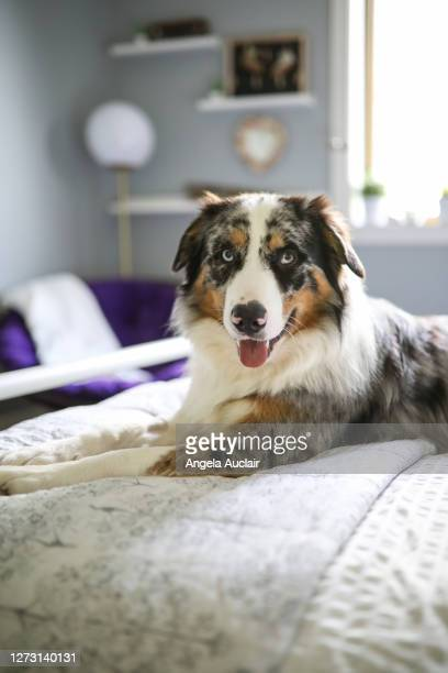 teen girl bedroom with australian shepherd dog - angela auclair stock pictures, royalty-free photos & images