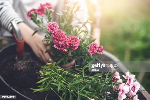 teen girl planting flowers in the garden - cravo cravo da china imagens e fotografias de stock